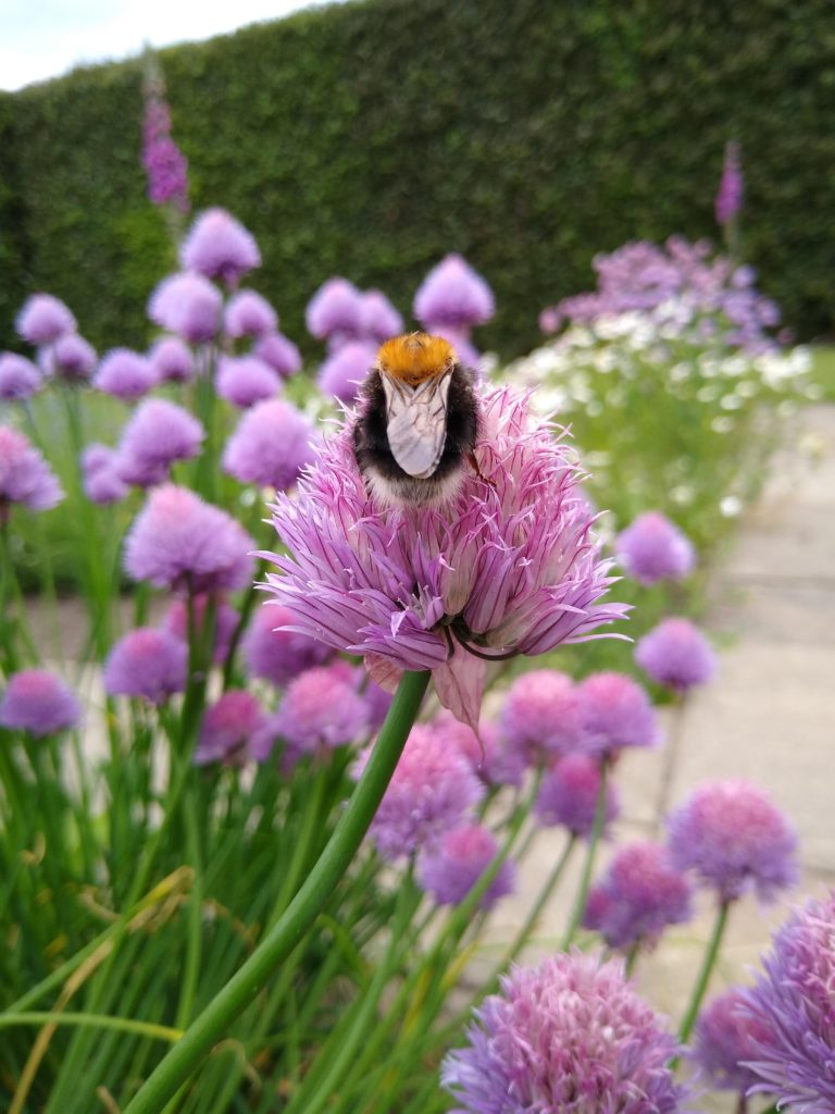 A photograph of a bumblebee feeding on a purple chive flower