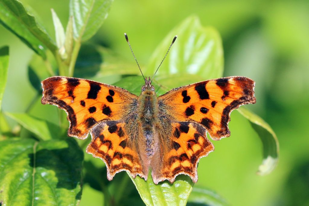 A photograph of a pattered orange and brown comma butterfly resting on a plant