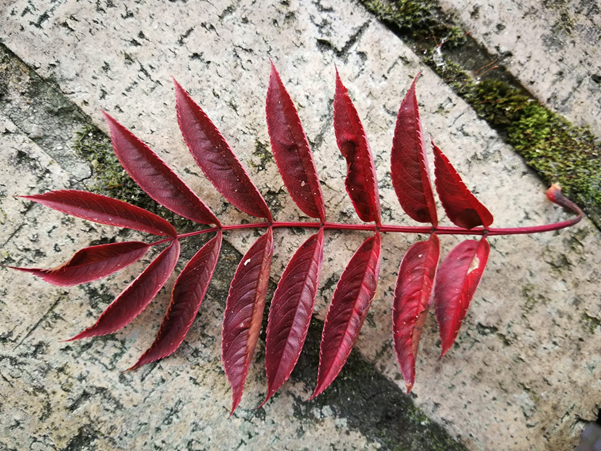 A bright red leaf symbolising the start of Autumn