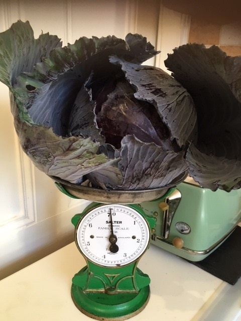 Image shows a large purple cabbage on a set of scale. The cabbage is huge!