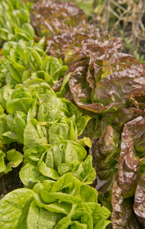 Images shows green and red varieties of lettuce.
