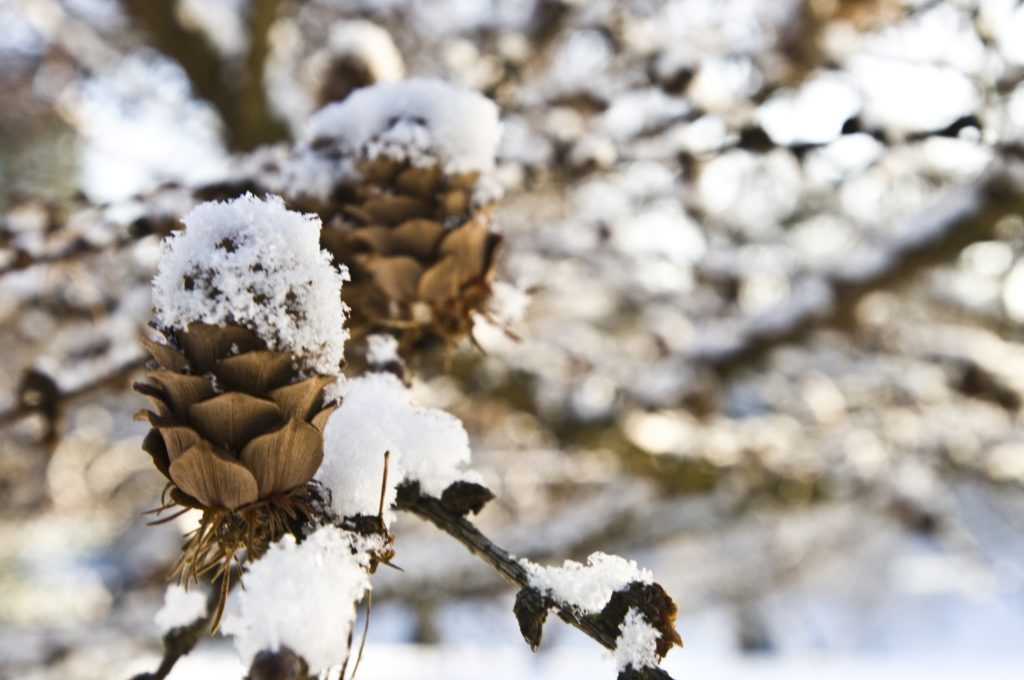 image shows a pine cone dusted in snow