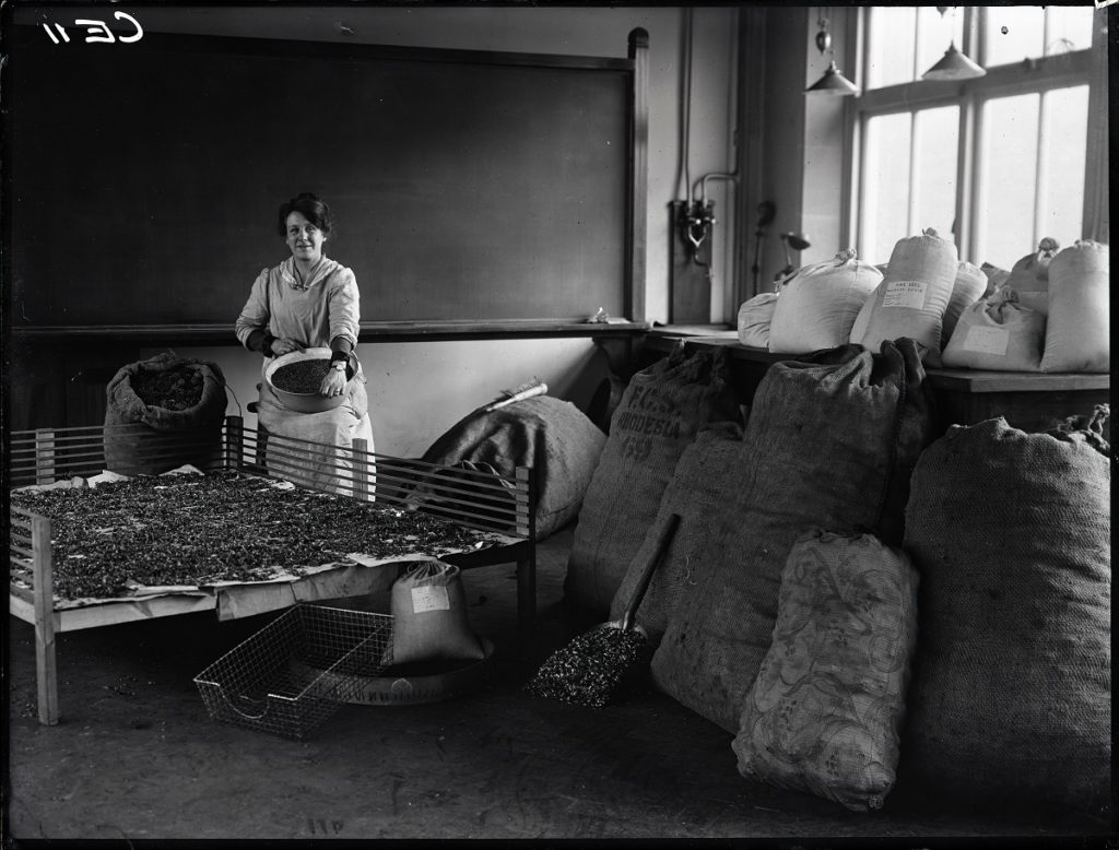 Black and white photograph showing Miss McQueen surrounded by hessian sacks of pine cones, with a sieve in her arms, and a drying frame with pine cones on it in front of her.