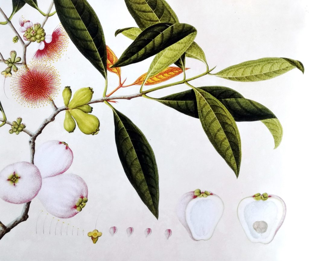 Painting of Syzigium malaccense