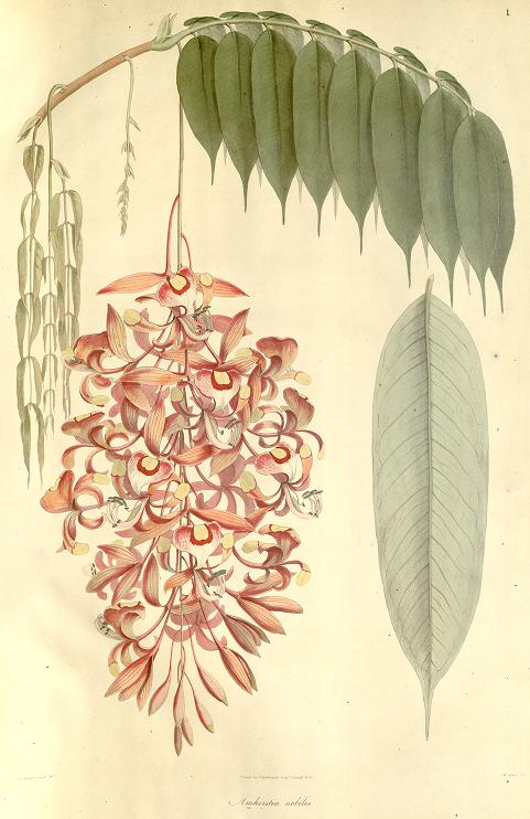 Amherstia nobilis drawing