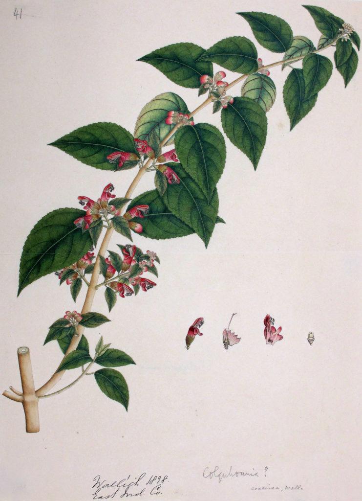 Drawing of Colquhounia coccinea