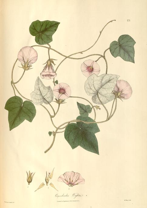 Convolvulus (Ipomoea) wightii, in Wallich's Plantae Asiaticae Rarores