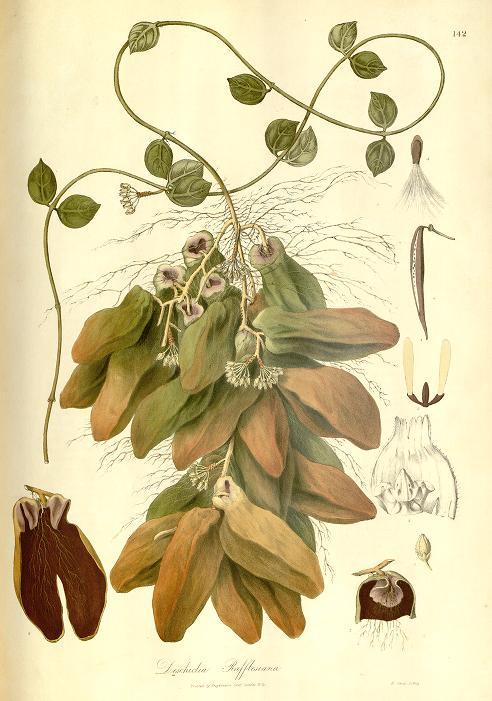 Drawing of Dischidia rafflesiana