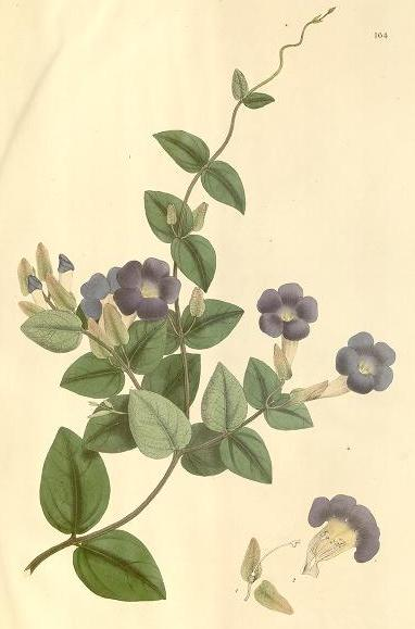 Drawing of Thunbergia hawtayne