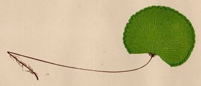 Adiantum reniforme coloured wood engraving