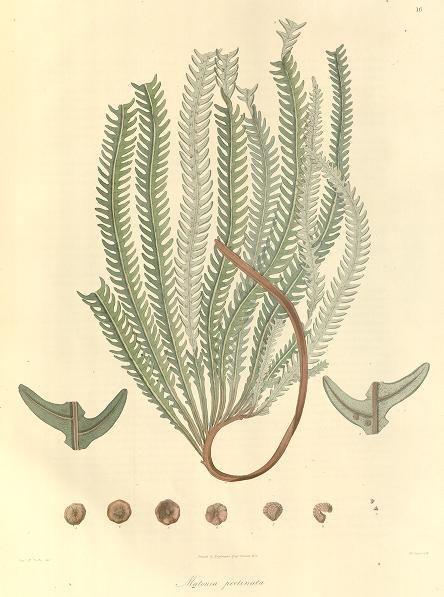 Drawing of Matonia pectinata