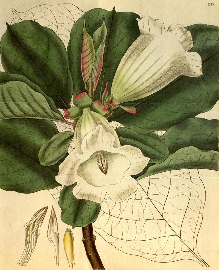 Drawing of Beaumontia grandiflora