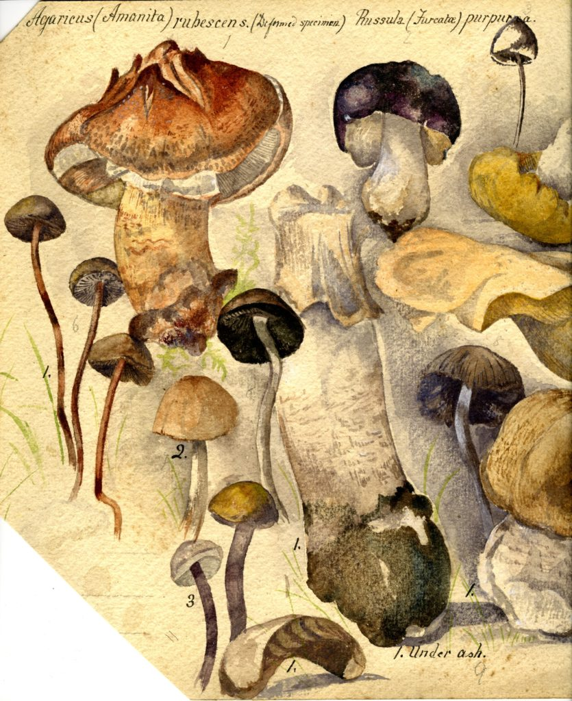 Painting of fungi by Constance Drummond-Hay