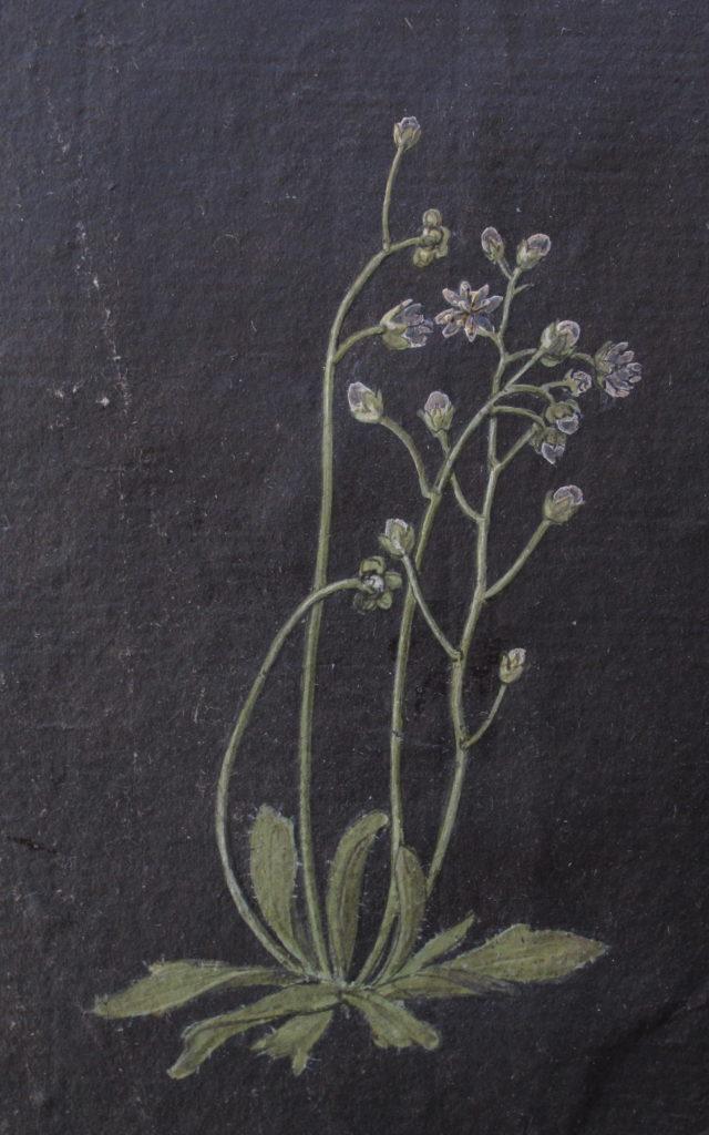Painted impression of Erophila verna
