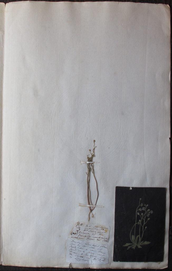 Lightfoot herbarium specimen of Erophila verna