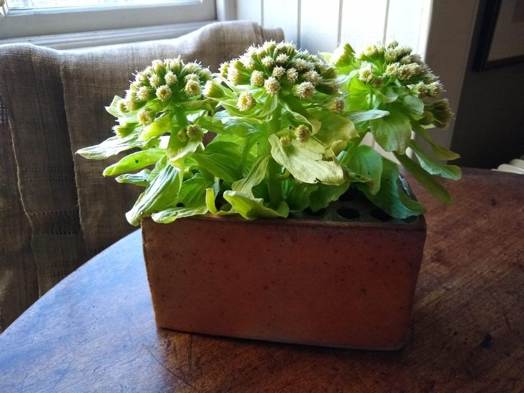 Giant butterbur in flower brick