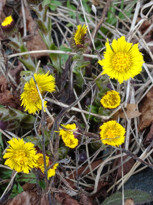 Yellow composite flower heads pf coltsfoot opening among dead vegetation