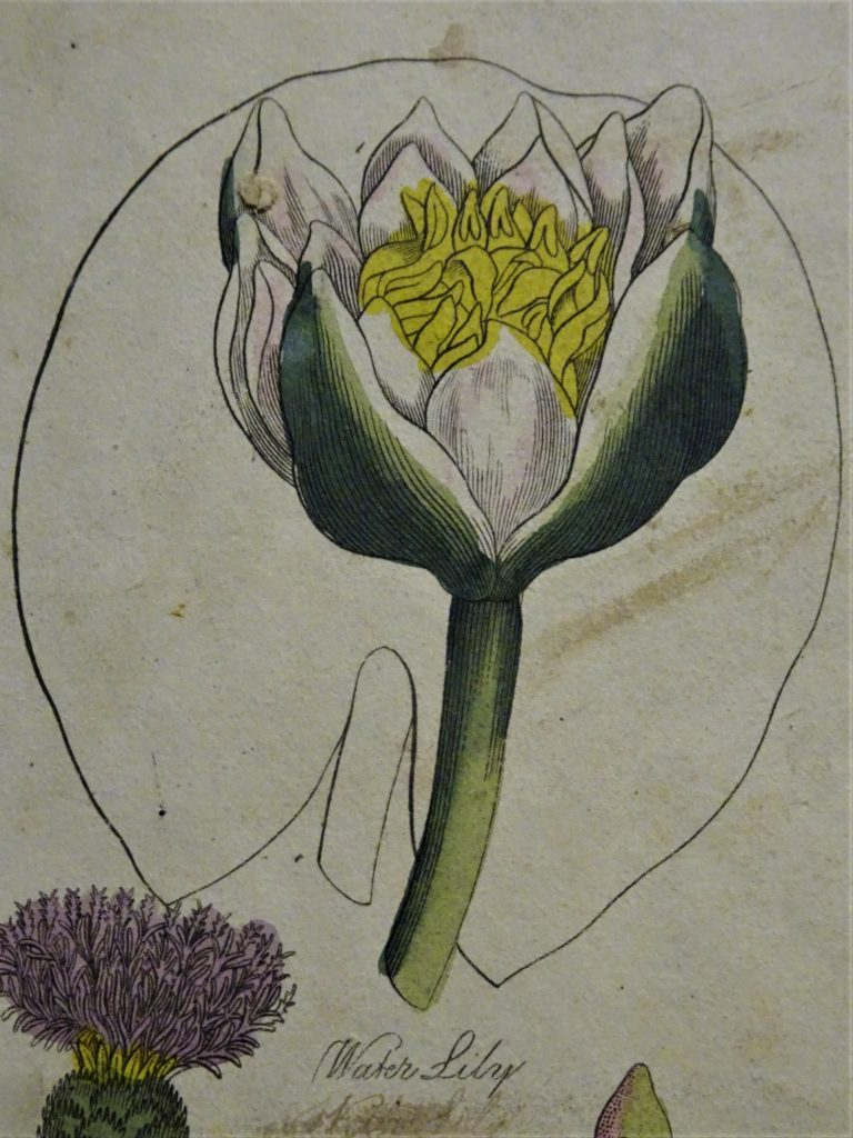 Colour plate showing image of the white water lily